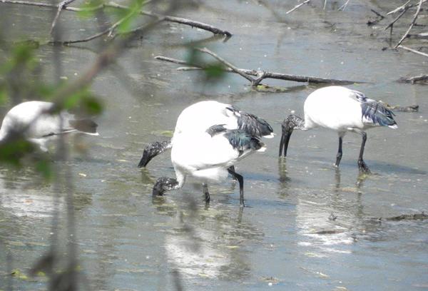 ibis-cavenago-casanova-sindaco