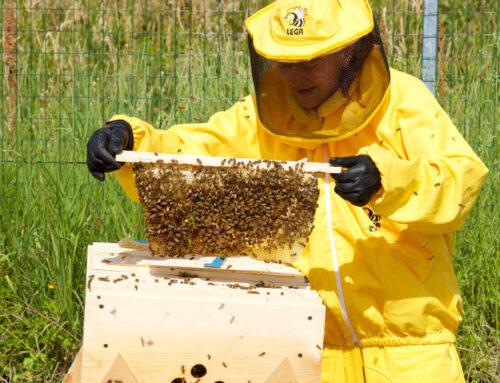 Apicoltura riconosciuta attività essenziale per l'ambiente. A Lodi 4609 alveari
